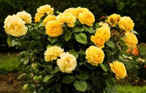 Cómo podar los rosales sin dañar la planta
