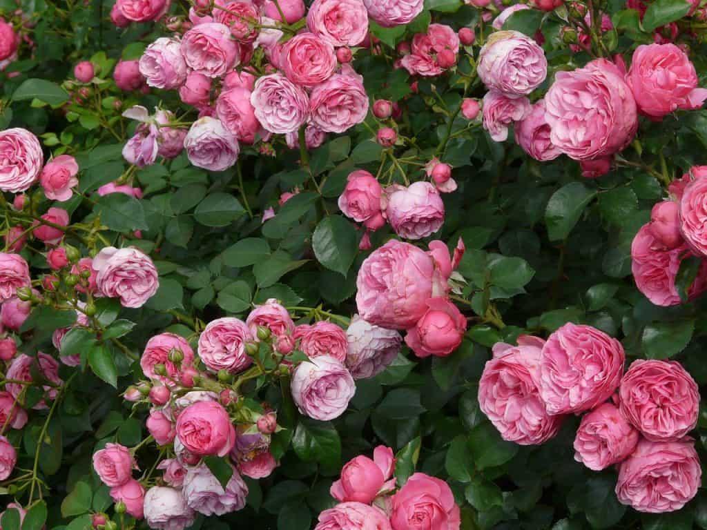 Rosas, Arbustivas