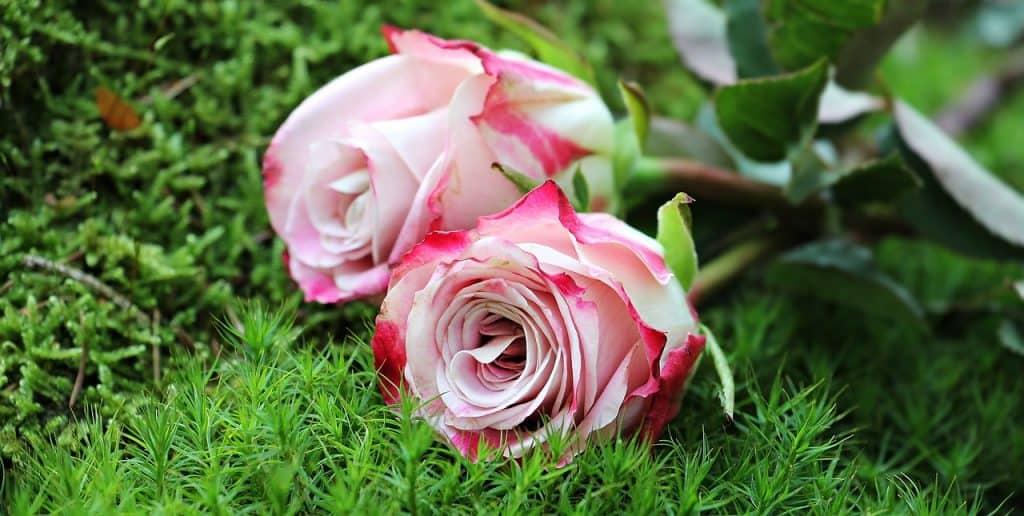 flores blancas rosas blancas