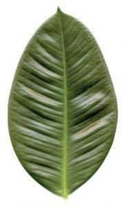 ficus elástico o árbol de goma