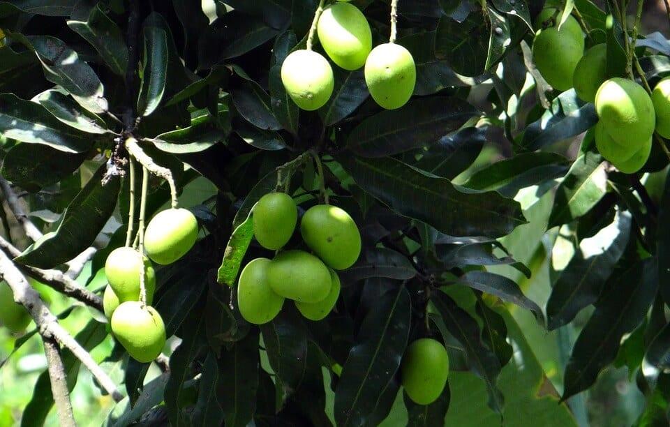 sembrar árbol de mango