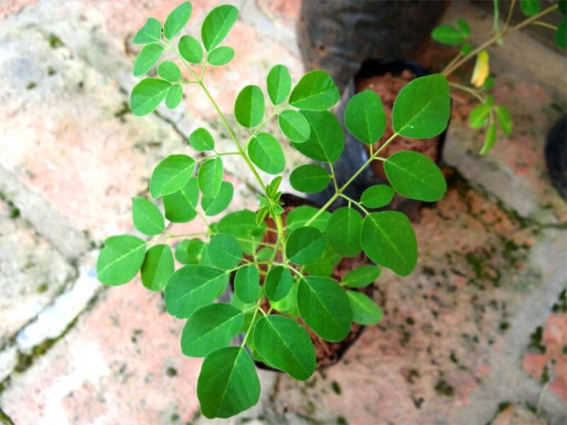 sembrar árbol de moringa