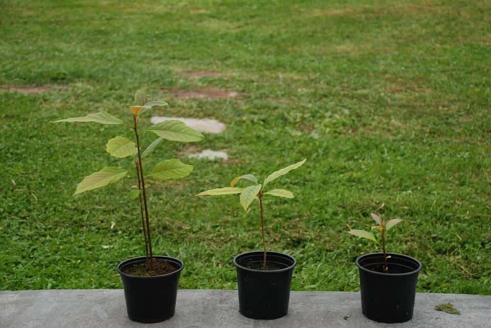 sembrar aguacates 4