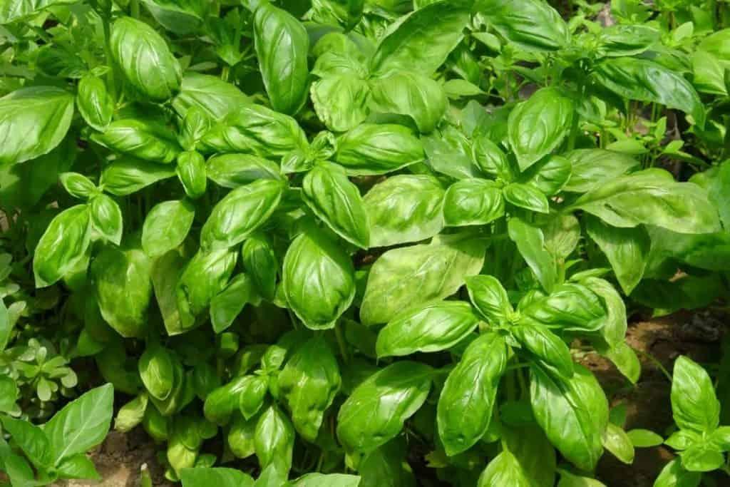 sembrar hierbas medicinales