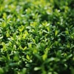 Cómo Sembrar Aligustre en tu Jardín: Guía Completa [Paso a Paso]
