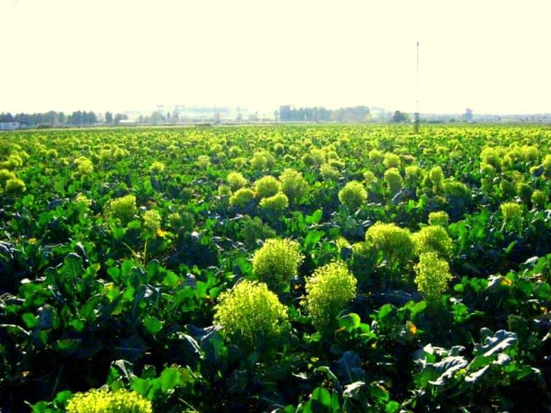 sembrar brocoli 4