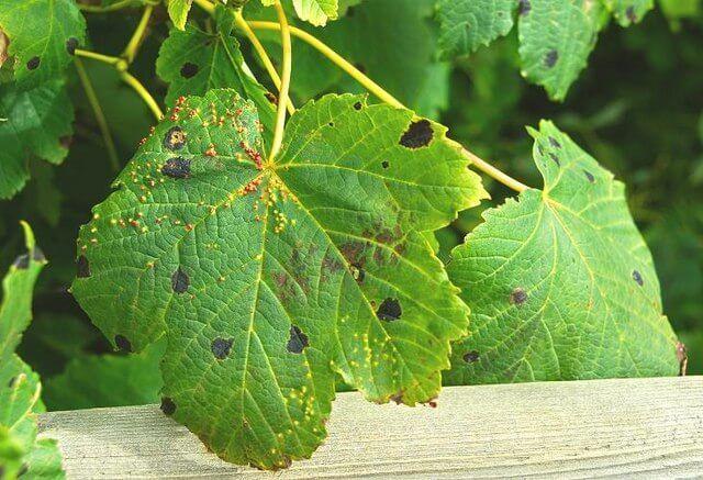 sembrar cilantro 5