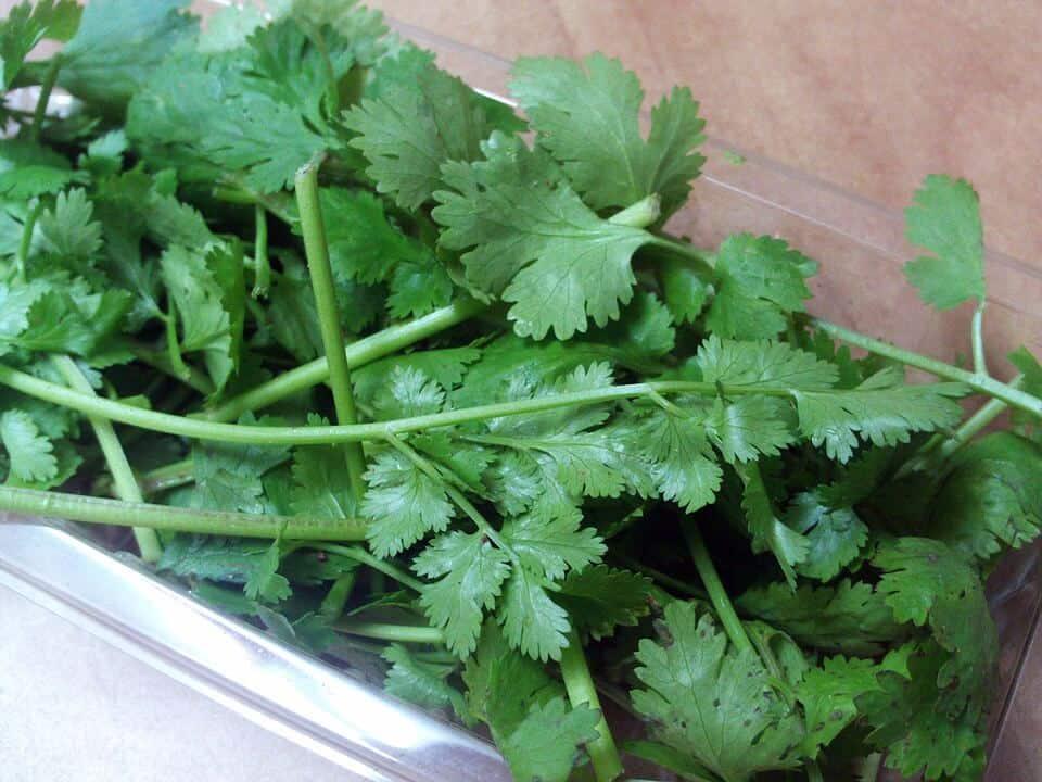 sembrar cilantro 4