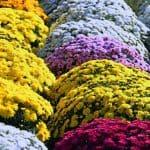 Cómo Plantar Crisantemos en tu Jardín: [Guía + Trucos Imprescindibles]