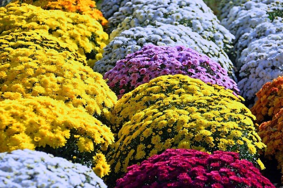 sembrar crisantemos