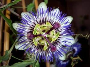 sembrar flor de la pasión