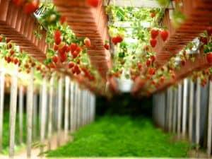 sembrar fresas 6