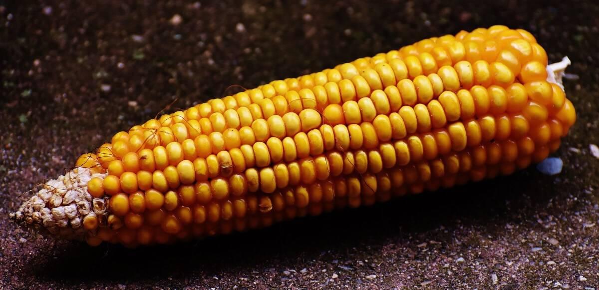sembrar maíz 10