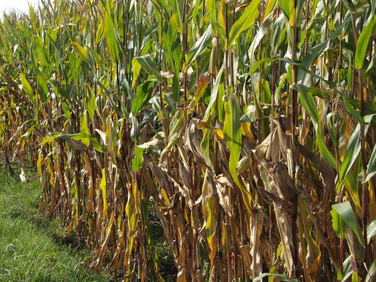 sembrar maíz 4