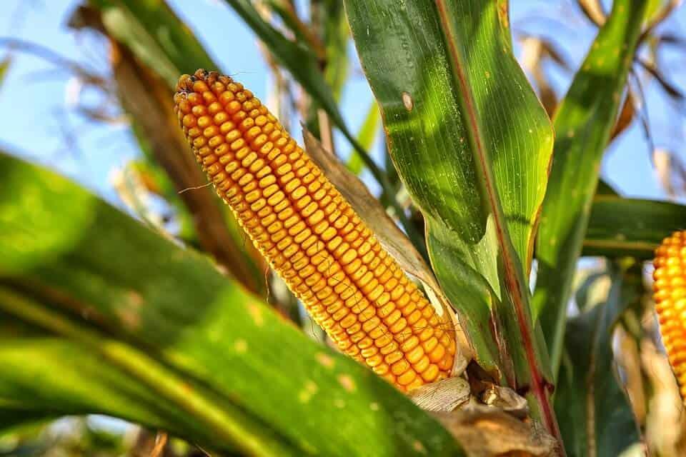 sembrar maíz 5