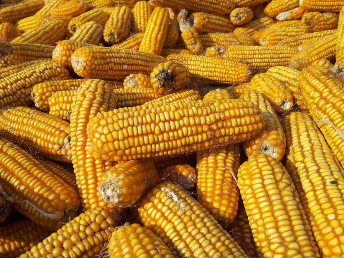 sembrar maíz 9