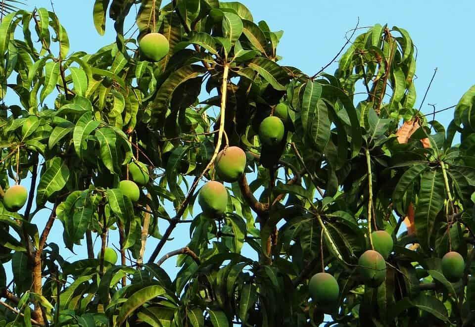 sembrar mango en verano