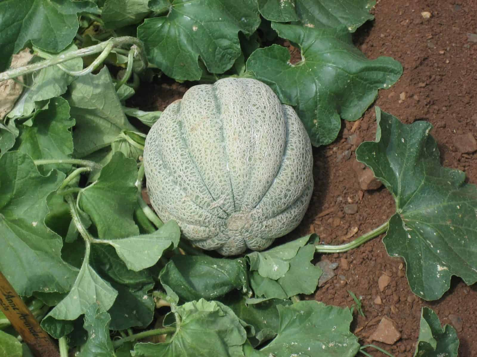 sembrar melones 2