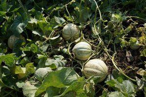 Cómo podemos detectar la falta de riego en los melones