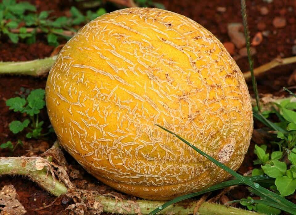 sembrar melones 8