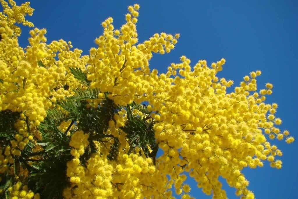sembrar mimosa paso a paso