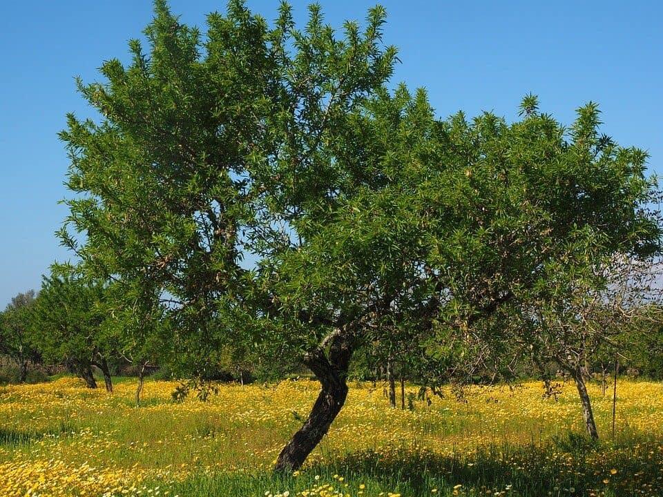 sembrar olivo paso a paso