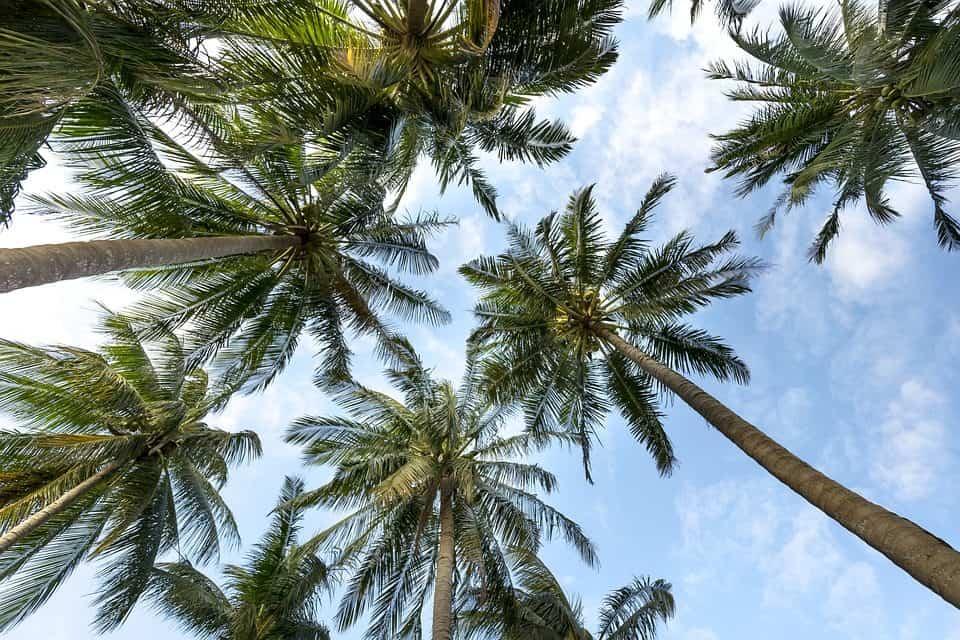 sembrar palmeras