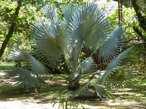 sembrar palmeras en el jardín