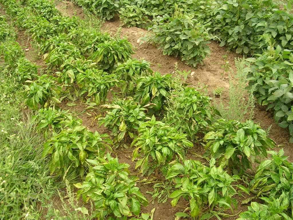 sembrar pimientos 8