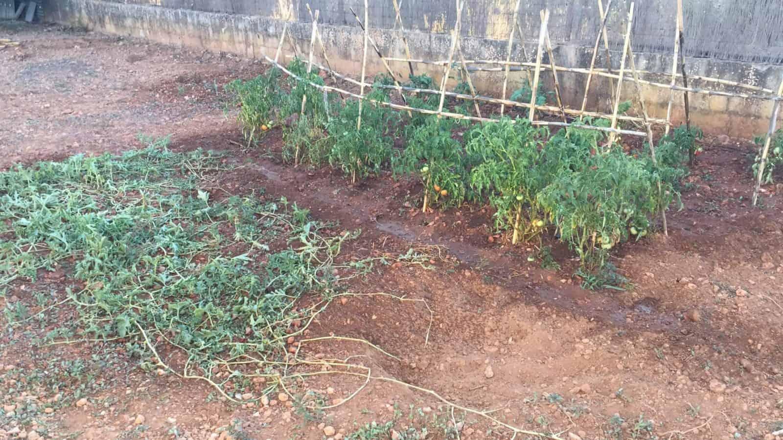 sembrar sandías 6
