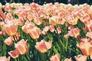 sembrar tulipanes paso a paso