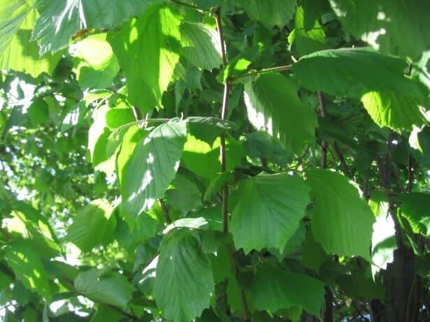 sembrar un árbol de avellanas