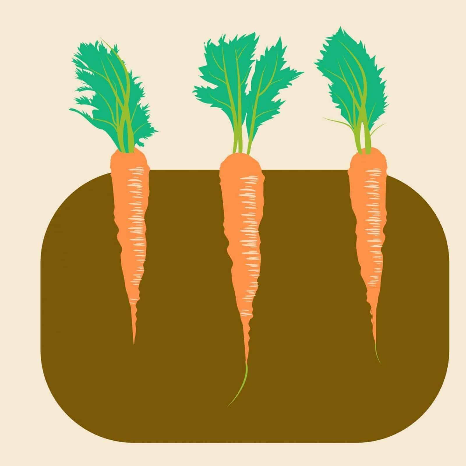 sembrar zanahorias 4