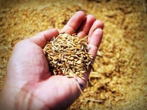 Dispera las plantas de arroz
