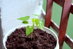 Cómo sembrar las semillas de papaya
