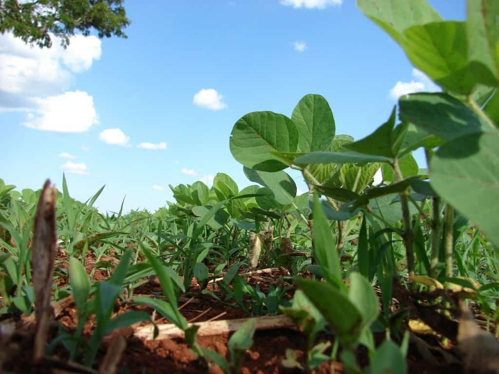 Cómo plantar soja