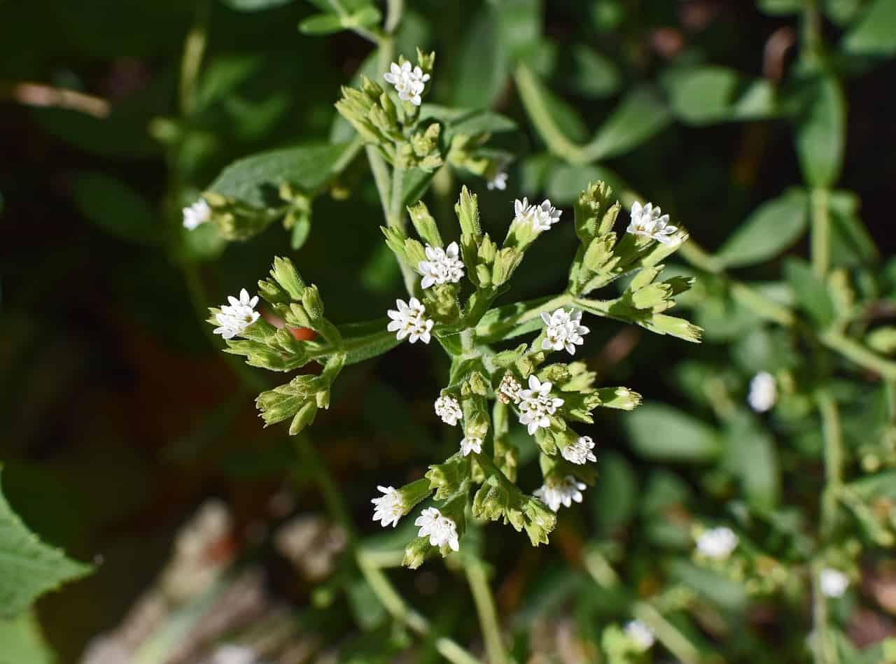 Cultivo de la Stevia