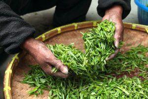 Cuidados y cultivo de la planta del té verde