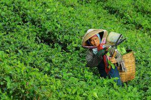 La cosecha y recolección de la planta del té verde