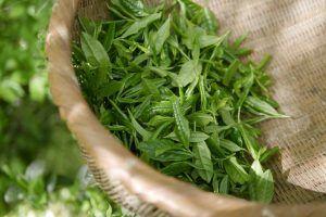 La planta del té verde y su cultivo