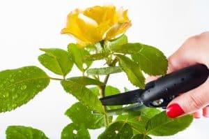 Qué herramientas necesitamos para la poda de rosales
