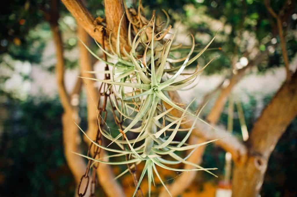 Tillandsia plantas de interior