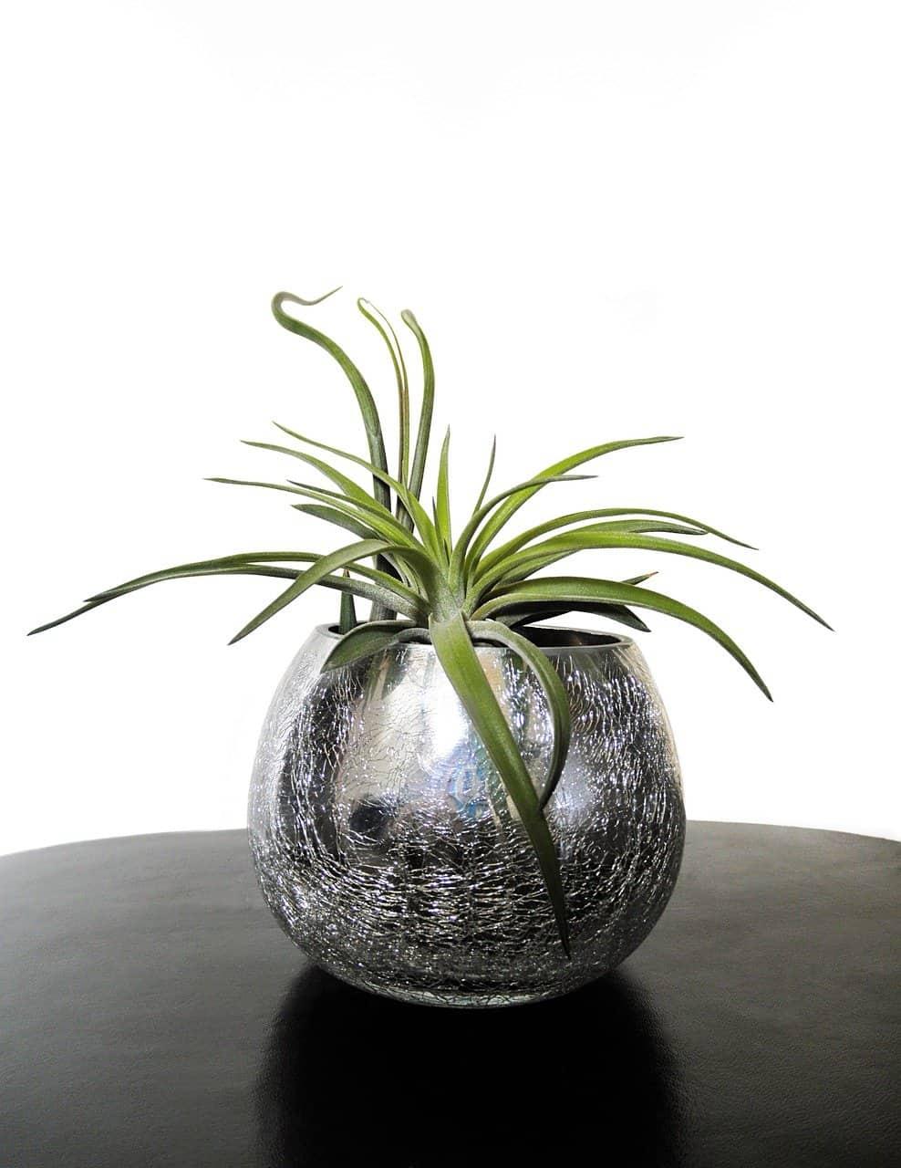 sembrar Tillandsia o planta del aire