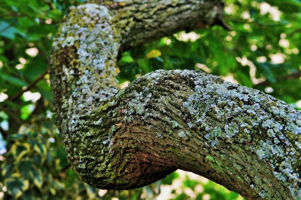 Árbol de tipuana
