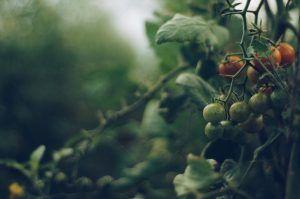 Cómo transplantar tomates