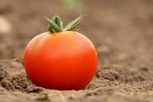 abonar tomates