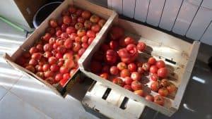 tomates tipos
