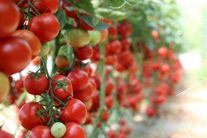 Cuánto espacio necesita una planta de tomates