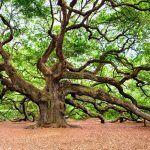 El Árbol Más Viejo del Mundo: ¿Cuál es y Cuántos Años tiene?