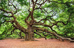 cómo es el árbol más viejo del mundo